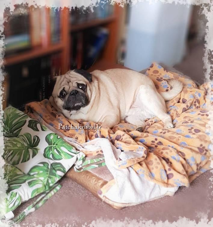 pug dog carlin cute